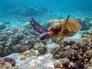 dorosly-zolw-zielony-spokojnie-penetruje-przybrzezne-rafy-cypr-zrodlo-wwwblogcypruscouponcom_2244